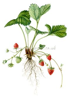 botanical illustration of a strawberry plant, showing leaves, fruit and roots