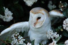Barn owl                                                       …