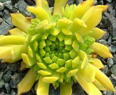 Sempervivum montanum subsp. carpathicum 'Cmiral's Yellow'