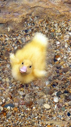 Are you my Momma? :) ( Yes! Yes, I am! ) Fluffy wading baby duckling.