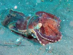 An octopus will even use a jar to hide in