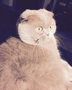 Her name is #Rosie but her nickname is #meecheebomb #scottishfold