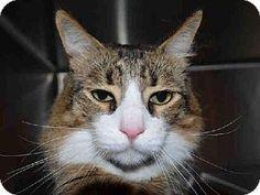 Adopt a Pet :: SNICKERS - Martinez, CA - Domestic Mediumhair