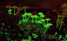Hongos fluorescentes.