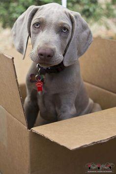 Levi, 3 month old Weimaraner Puppy