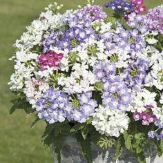 Verbena Scentsation Seeds - Irish Plants Direct