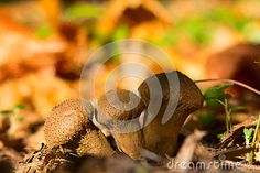Mushroom Lycoperdon in the mixed forest