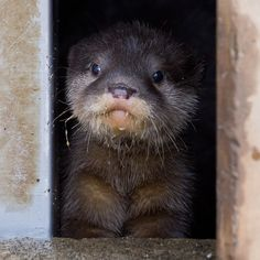 Otter Pup Peeks Out the Window