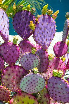 Opuntia Purple Prince - prickly pear cactus have some of the most colorful cactus… Cacti And Succulents, Planting Succulents, Planting Flowers, Succulent Terrarium, Cactus Art, Cactus Flower, Flower Bookey, Flower Pots, Cactus Planters