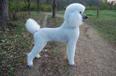 White Standard Poodle | The White Poodle Thread - Page 6 - Poodle Forum - Standard Poodle, Toy ...