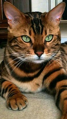 Great Pics Bengal Cats cute Concepts let's talk about exactly what is really a Bengal cat. Bengal kittens and cats really are a pedigree kind . Cute Cats And Kittens, Baby Cats, Cool Cats, Kittens Cutest, Ragdoll Kittens, White Kittens, Pretty Cats, Beautiful Cats, Animals Beautiful