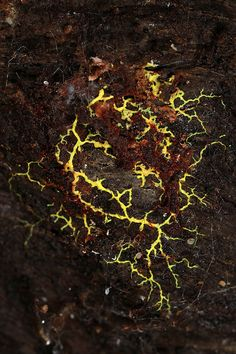 Fractal branching patterns in nature - Slime mold plasmodium