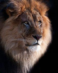 King of the Beasts - Luke : King of the Beasts - Luke Lion Images, Lion Pictures, Animal Pictures, Beautiful Lion, Animals Beautiful, Cute Animals, Lion Photography, Lions Photos, Gato Grande
