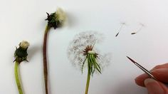 The next commission on the drawing board in my studio is a dandelion illustration rendered in watercolour. This artwork is A3 in size and is being custom created as a book illustration