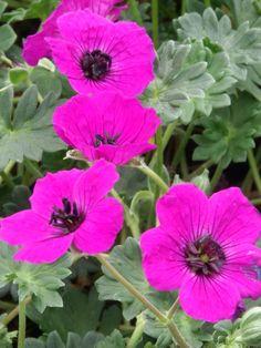 Photo of Geranium Purple Who