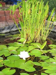 The white water lily adorns the pond.  Can you see the fish?