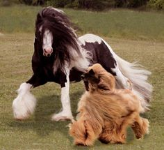 Gypsy vanner and an Afghan hound, love it! All The Pretty Horses, Beautiful Horses, Animals Beautiful, Cute Animals, Pet Dogs, Dogs And Puppies, Dog Cat, Horse Pictures, Animal Pictures