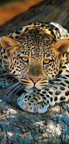 Beautiful Leopard.