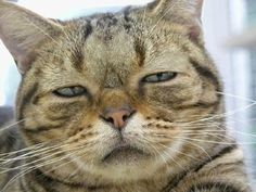「全然可愛くないネコの画像ください」より