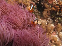Clownfish Fact: Clownfish have a few hidden talents other than their sense of humour to help them in the big old blue, like performing elaborate dances with an anemone before taking up residence in the safety of its tentacles.