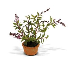 Herb - Salvia mini pot - New Growth Designs