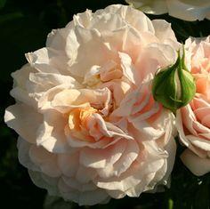 Cream Veranda Rose