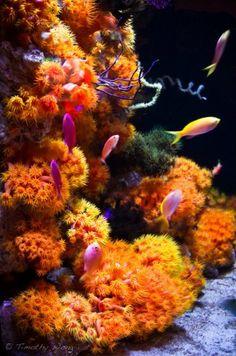 Tubastrea or orange cup corals at the California Academy of Sciences Steinhart Aquarium