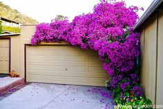 Bougainvilleas are flowering machines - they're an explosion of color. Find bougainvillea care & growing tips plus how to get the most flowering. Garden Trellis, Garden Plants, Bougainvillea Trellis, Fast Growing Flowers, Shed With Porch, Climbing Flowers, Black Eyed Susan, Flowering Vines, Tropical Plants