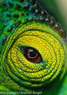 Eye of parson's chameleon, Calumma parsonii, Madagascar