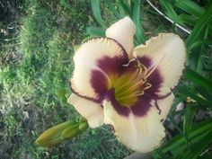 beautiful day lillies in my yard