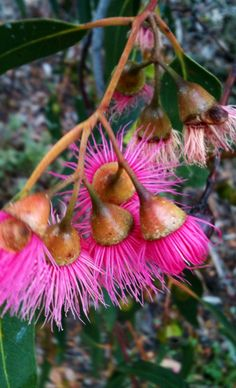Yellow Gum. (Eucalyptus leucoxylon) Native found in open-forest & woodland in western Victoria, Western Australia & southwestern New South Wales.