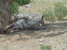 White tiger at Animal Ark animal sanctuary, near Reno, Nevada