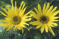 Perennial sunflowers don't have giant flowers like the annuals, but they make up for it with months of blooms. Discover the different varieties. Shade Garden Plants, Garden Trees, Air Plants, Planting Sunflowers, Sunflowers And Daisies, Giant Flowers, Wild Flowers, Impatiens Flowers, Perennial Sunflower