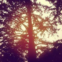 California Pines, Morning pines:) #earthprovides #naturemusic #spreadlight #treesandhealing