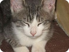 Maumelle, AR - Domestic Shorthair. Meet Boots, a kitten for adoption. http://www.adoptapet.com/pet/11348000-maumelle-arkansas-kitten