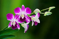Thai Orchid. Purple. This will be my wedding flower=]