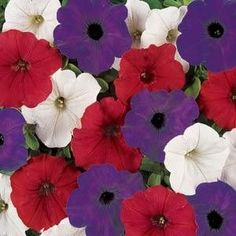 Petunia Easy Wave® Flag Mixture Plants                                                                                                                                                                                 Mais