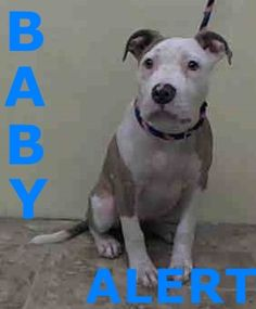 Manhattan Center SIERRA - A1024652 FEMALE, WHITE / BR BRINDLE, PIT BULL MIX, 4 mos STRAY - STRAY WAIT, NO HOLD Reason STRAY Intake condition EXAM REQ Intake Date 01/03/2015, From NY 10451, DueOut Date 01/06/2015, https://www.facebook.com/photo.php?fbid=936574309688782 +++++++++JUST A BABY++++++++++