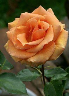 "premsaral: ""Source :something to say "" Beautiful Flowers Pictures, Beautiful Rose Flowers, Exotic Flowers, Beautiful Gardens, David Austin Rosen, Orange Rosen, Most Popular Flowers, Seed Packaging, Asian Garden"