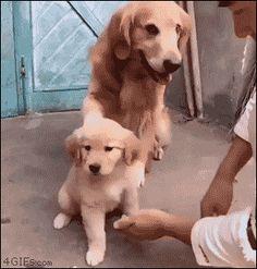 e-wifey: sexwitsockson: 4gifs: Overprotective dog dad....