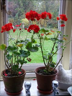 Red Geraniums... My favorite container plant!
