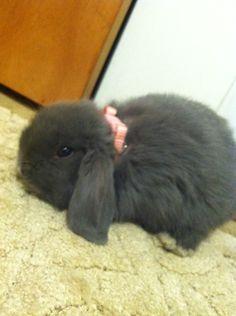 New pet: Simba the mini lop bunny