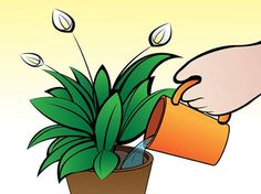 How to Care for Peace Lilies. Peace lilies are one of the most popular varieties of houseplants. By properly caring for your peace lilies, you'll have beautiful. House Plant Care, House Plants, Outdoor Plants, Potted Plants, Plants Indoor, Outdoor Spaces, Peace Lillies, Lily Care, Peace Lily Plant
