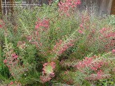 Grevillea rosmarinifolia (Rosemary Grevillea)  Google Image Result for http://pics.davesgarden.com/pics/2009/05/23/ecrane3/201c11.jpg