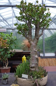 Jade Plant Bonsai, Bonsai Art, Bonsai Plants, Bonsai Garden, Indoor Green Plants, Jade Plants, Outdoor Plants, Flowering Succulents, Cacti And Succulents