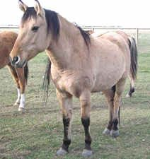 forsale horses kiger mustang