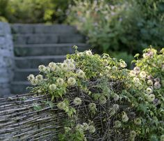 Natürlicher Sichtschutz  Die einheimische Waldrebe (Clematis vitalba) wächst an einem Flechtzaun empor. Nach der Blüte schmückt sie sich mit pelzigen Blütenständen.