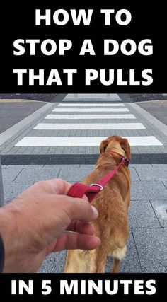 Do you want to train your dog to stop pulling on leash? Walking nicely on a leash is not an instinctive behaviour. Here is how to put an end to pulling in MINUTES not DAYS or WEEKS!