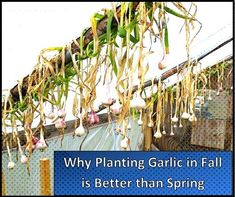 Planting garlic in Fall will give you better results than planting in Spring will! Both will give you a harvest but we explain why Fall planting is better! Herb Garden, Vegetable Garden, Garden Plants, House Plants, Planting Garlic In Fall, Organic Gardening, Gardening Tips, Little Presents, Growing Grapes