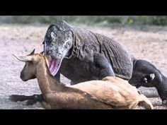 pair of massive Komodo dragons catch and kill an unsuspecting goat in In...